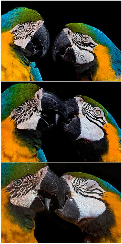 No Mundo animal colorido das aves | fotos de animais selvagens - casal de papagaios a beijarem-se
