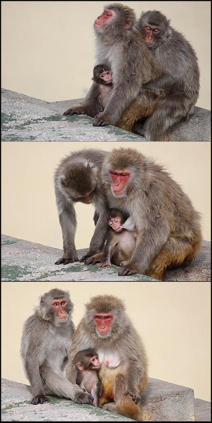 Três fotos de animais selvagens: Macaco do Japão (primatas) - Uma foto animal da: Família Feliz