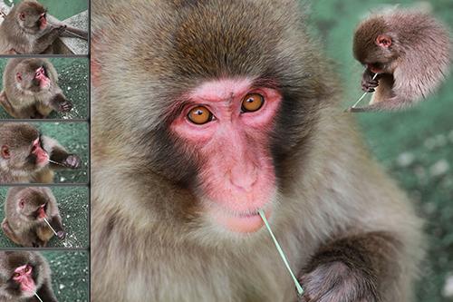 Foto mundo animal - um painel de fotos do macaco do Japao a mascar uma pastilha elastica e a tocar harpa com a pastilha - fotos de animais selvagens