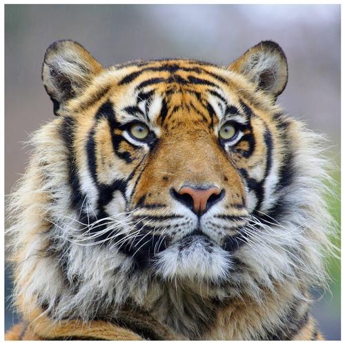 FotoMundoAnimal - grande plano da face de um tigre - FELINOS - fotos de animais selvagens