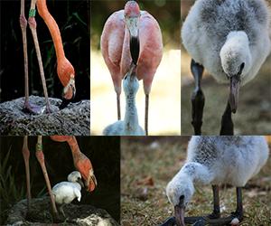 Flamingo bebe - painel do Animais Fotos - Reprodução em cativeiro