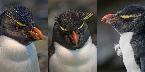 Pinguim saltadordarocha Painel de Fotos de Animais Selvagens -A