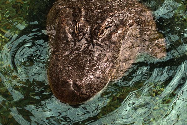 Aligator - Répteis | Crocodilo Ataca - Fotos de Animais Selvagens (3/6)