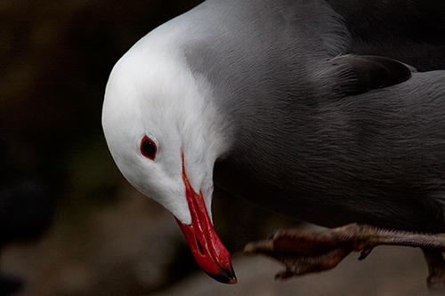 gaivota | aves em cativeiro - mundoanimal - 3767