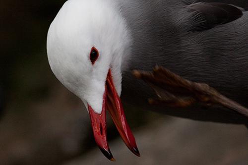 gaivota | aves em cativeiro - mundoanimal - 4567