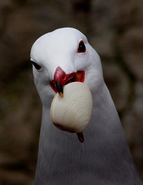 gaivota | aves em cativeiro - mundoanimal - 6799