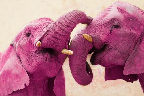 elefantes-cor-de-rosa-africa 1